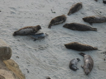 seals-with-pups.jpg