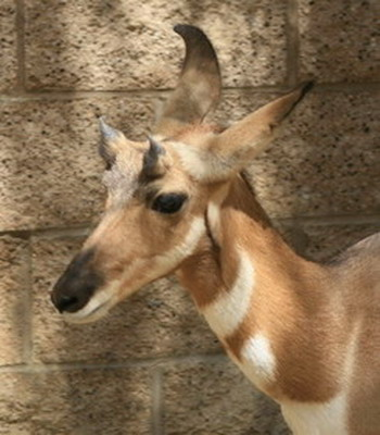 pronghorn_female.jpg